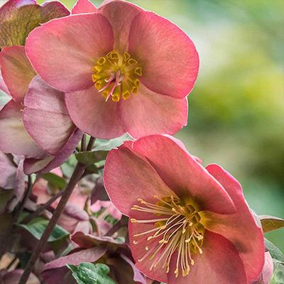 Perennials for Early Garden Color