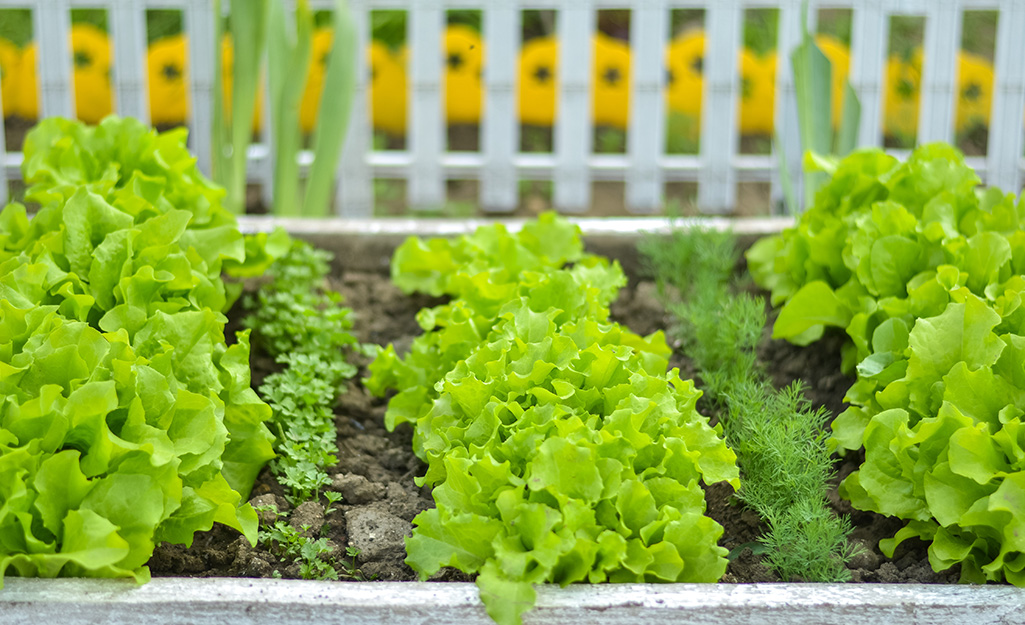 Quick-Growing Greens