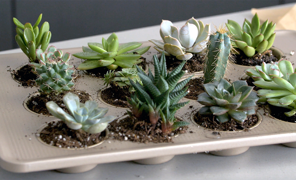 Muffin tins filled with planted succulents