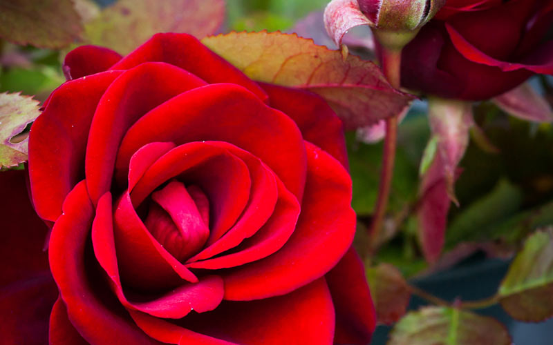 Roses = Rewards