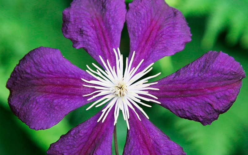 Colorful Clematis