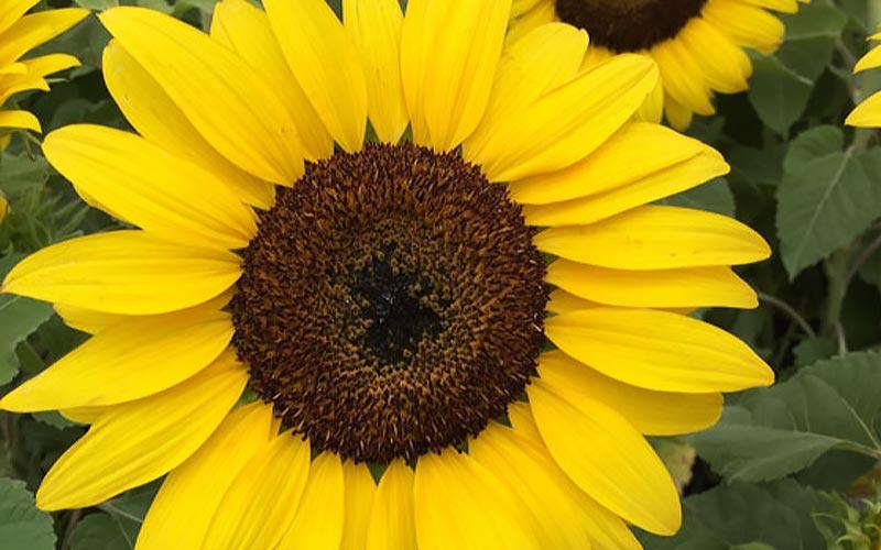 Plant a Season of Sunshine
