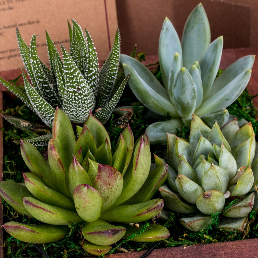 An arrangement of pastel-colored succulents.