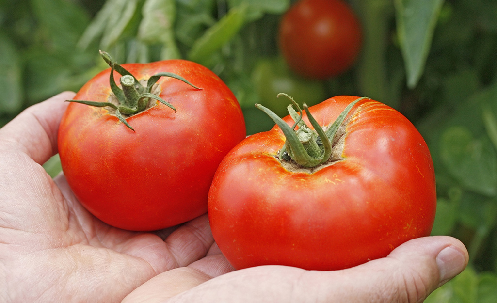 A gardener's hands hold red, ripe tomatoes.
