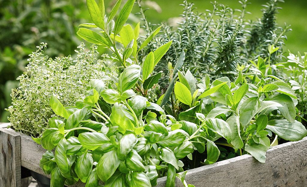 A raised garden bed filled with fresh herbs.
