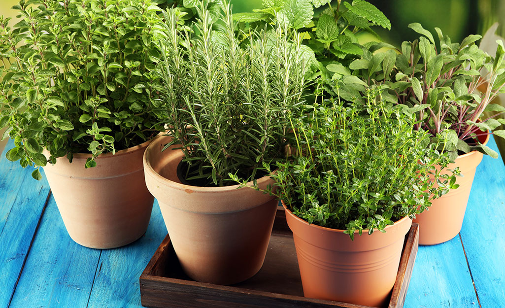 Terra cotta pots filled with fresh green herbs.