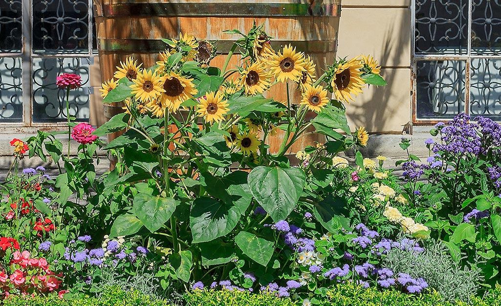 Sunflowers in a summer flower border