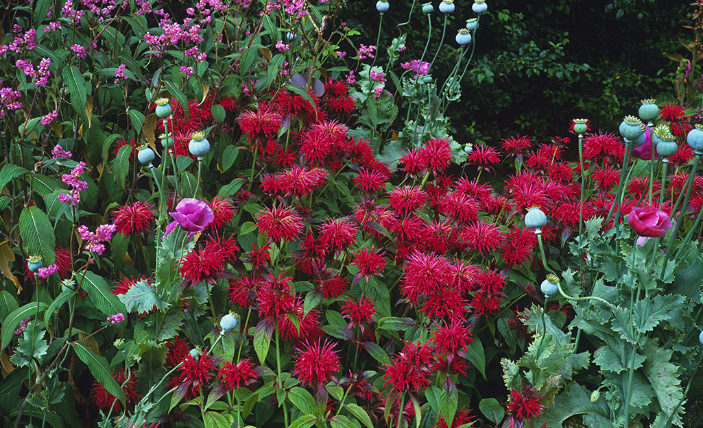 Red monarda (bee balm) in a flower border