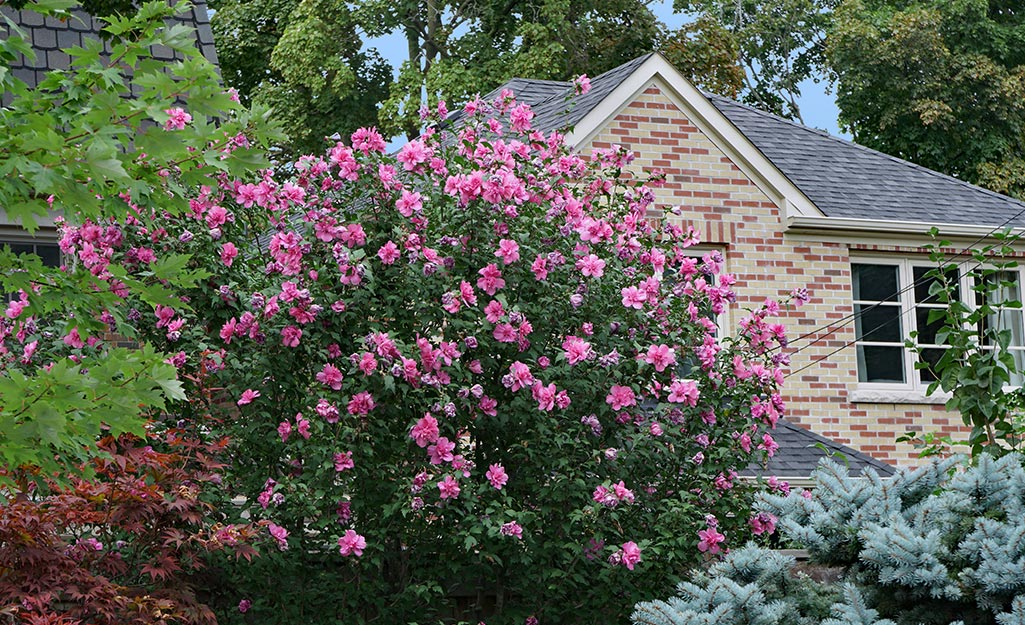 Pink hibiscus shrub next to a home