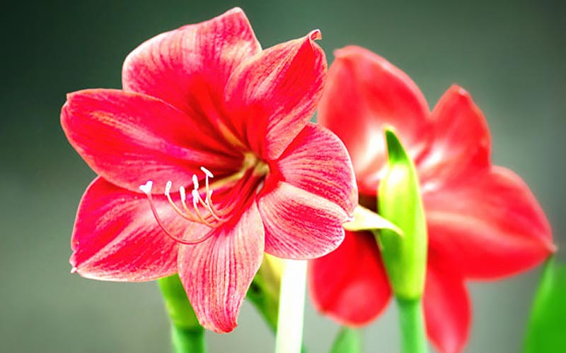 3 Festive Houseplants that Are Not Poinsettias - The Home Depot on orchids red, mums red, cactus red, peppers red, design red, animals red, ornamental grasses red, pots red, berries red, nature red, flowers red,