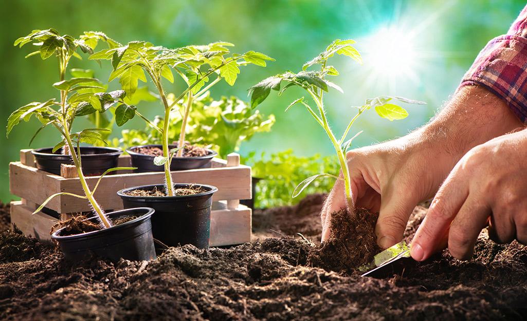 Gardener planting seedlings in soil