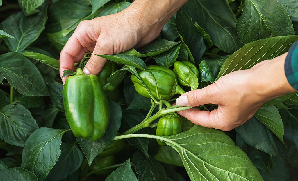 Gardener scouting for pests on a pepper plant