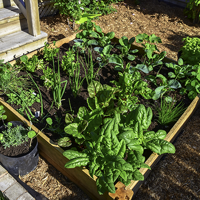 Green vegetables in a raised garden bed