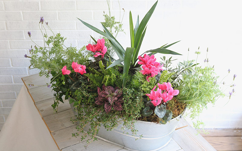 Pink blooms and green foliage in a galvanized container