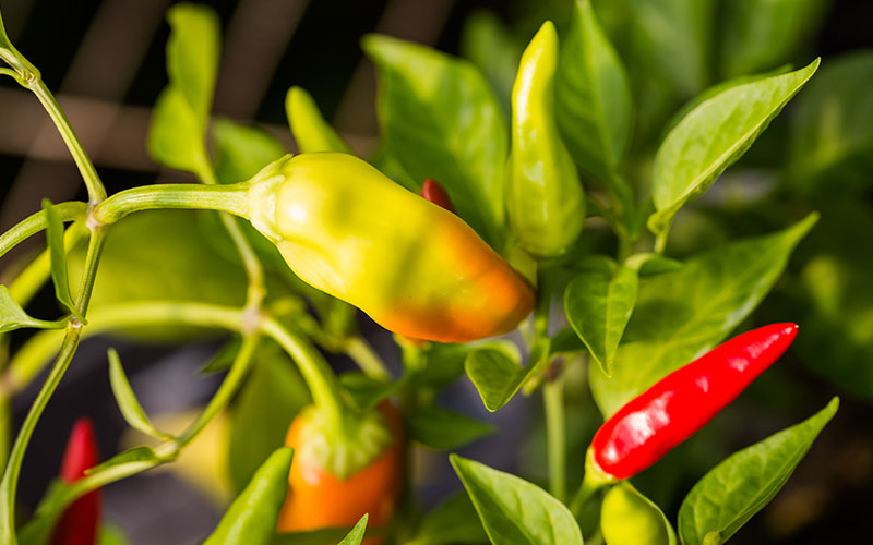 Chile peppers on a plant.