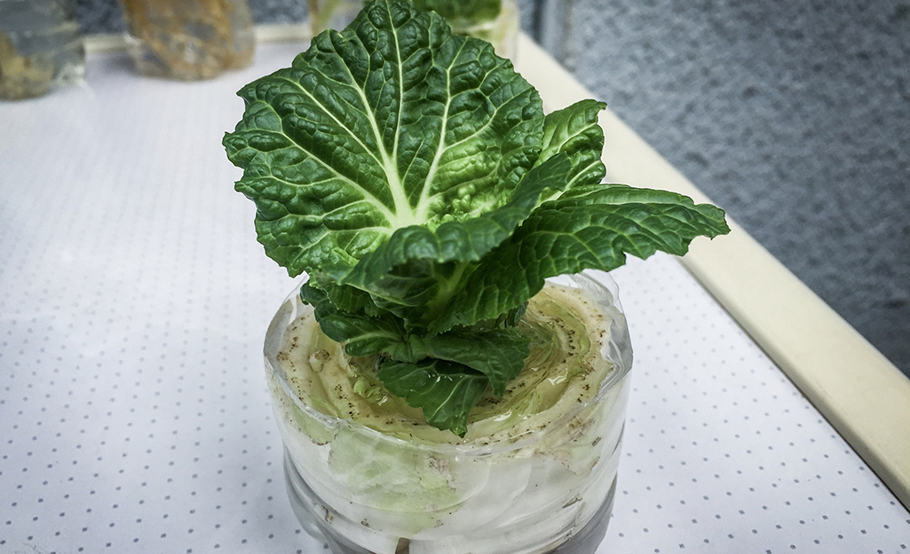 Lettuce growing in a cup