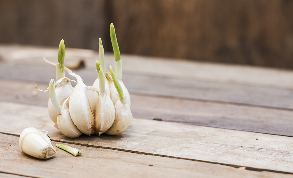Garlic cloves with sprouts