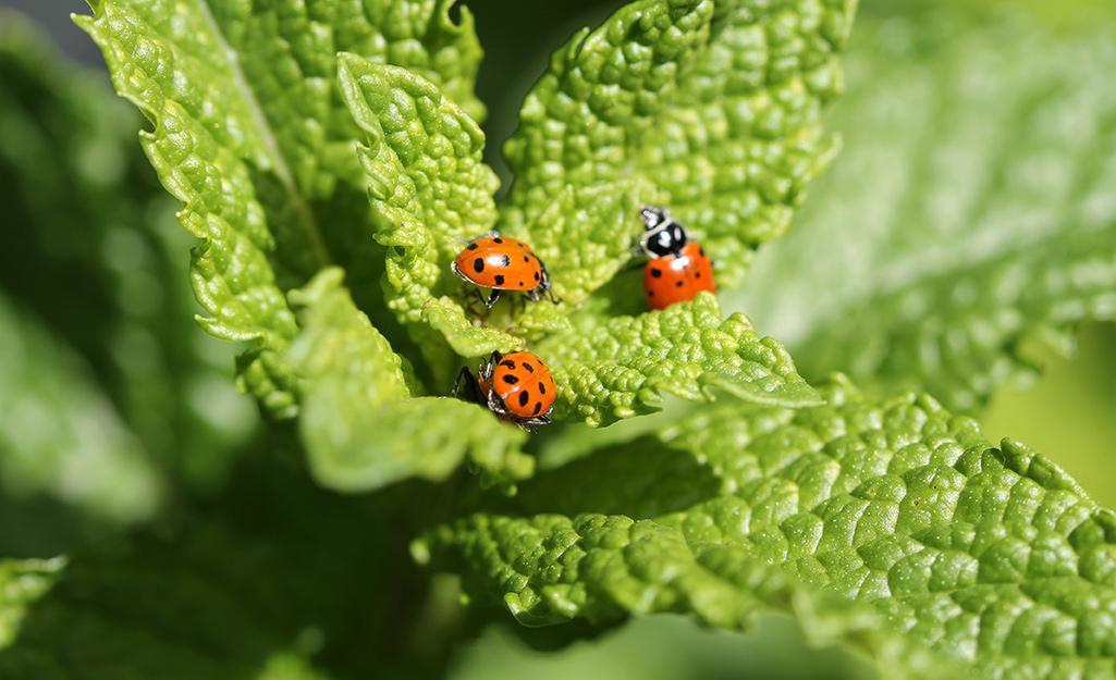 Ladybugs on a leaf.