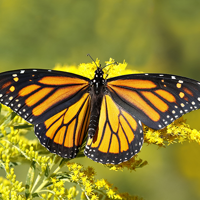A butterfly on a yellow flower.