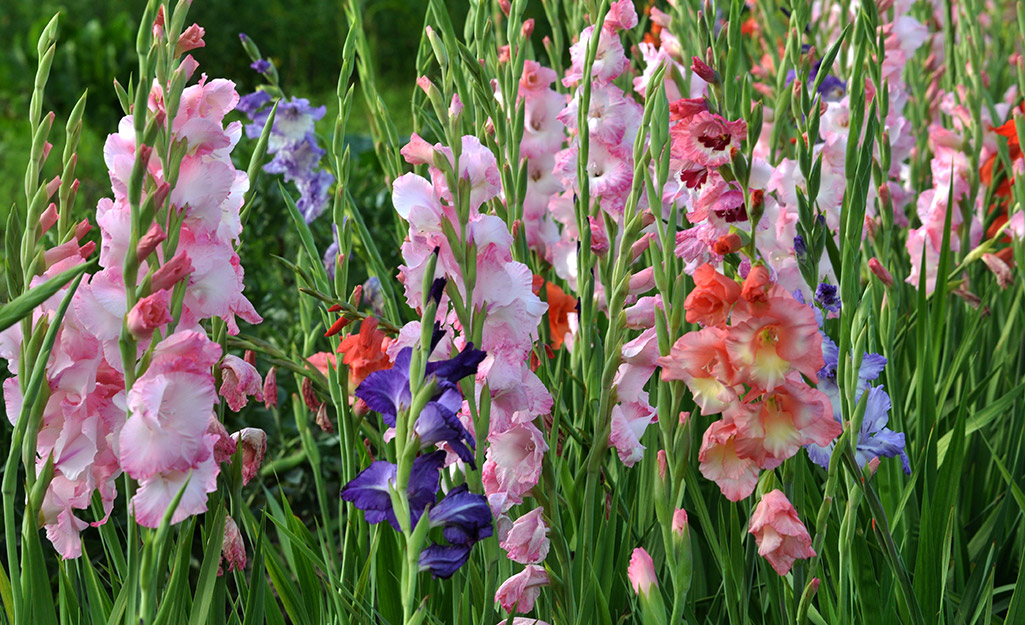 Colorful spikes of gladiolus in the garden.