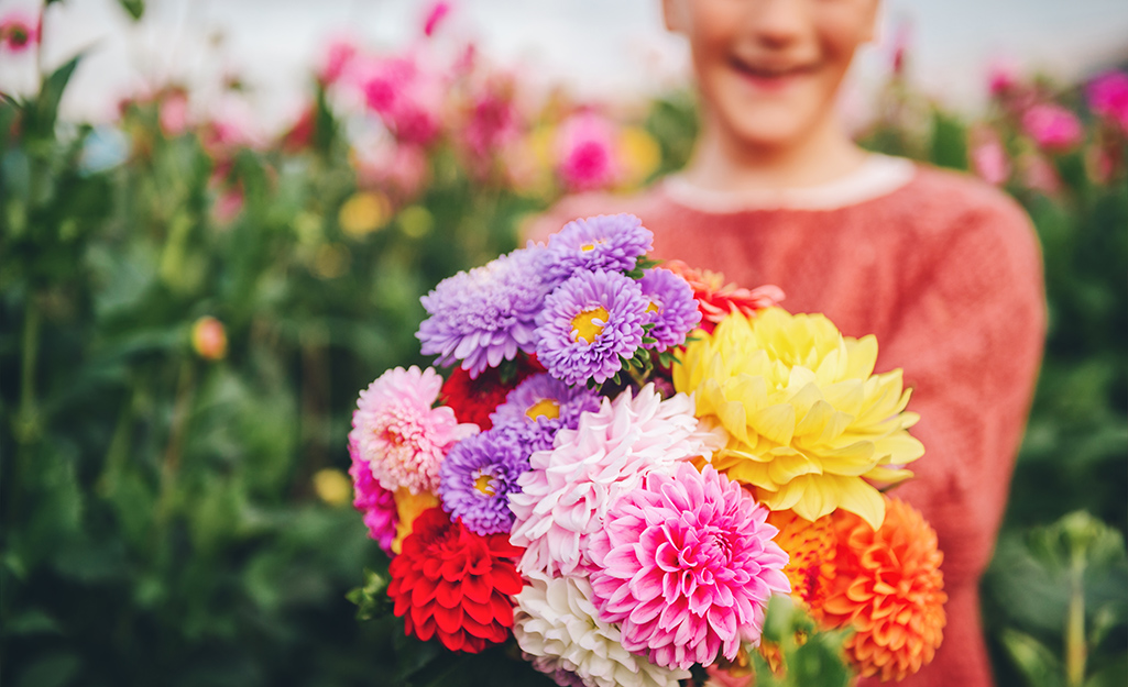 A gardener holds a bunch of colorful dahlias.