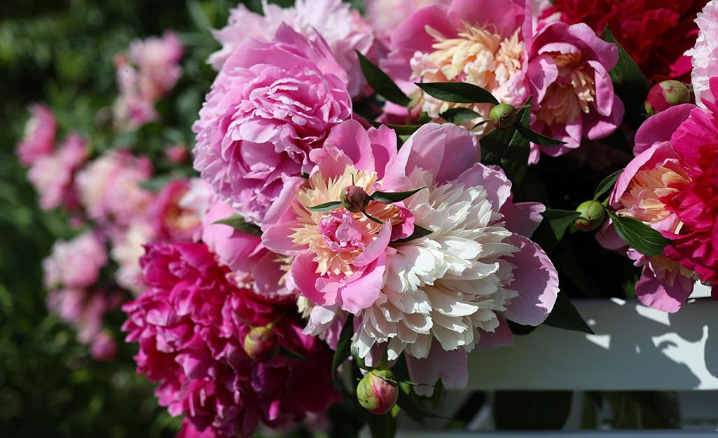 Pink peonies in the garden.