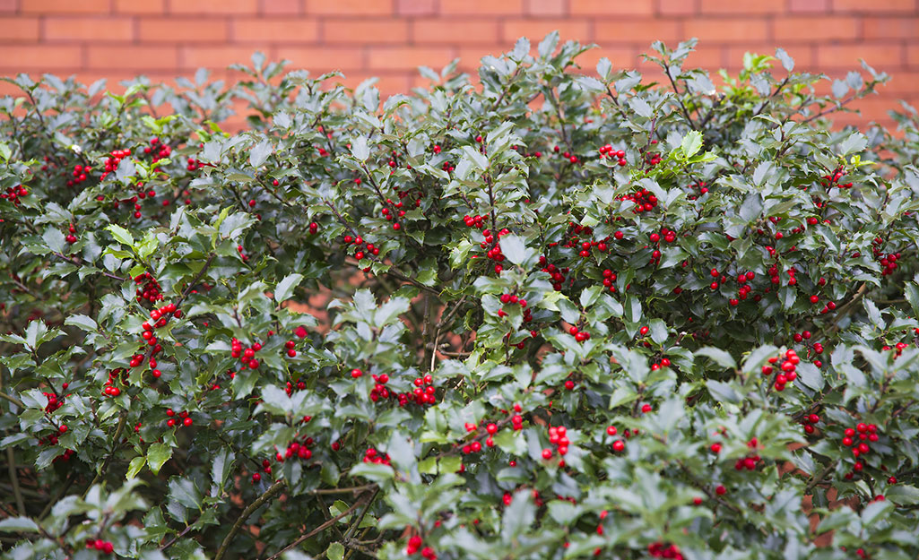 Holly shrub in landscape