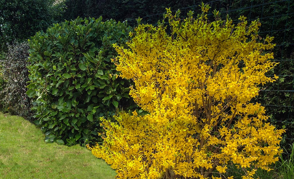 Yellow forsythia in bloom