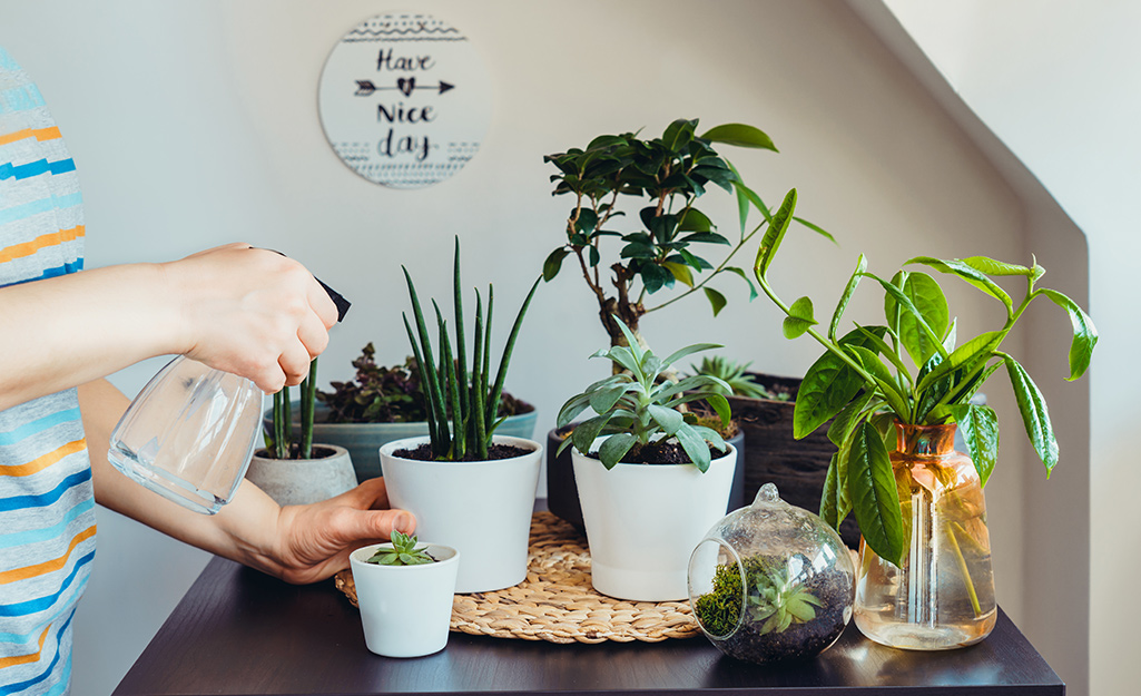 A person using a spray bottle to mist houseplants.