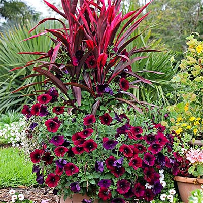Container with red cordyline and petunias