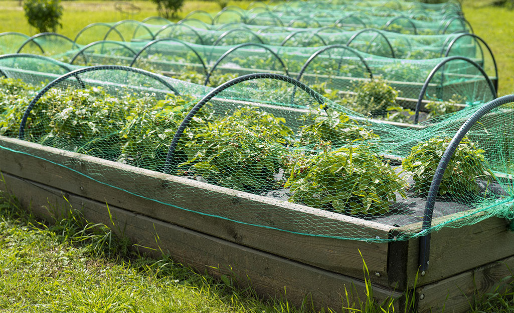 Row covers over greens in raised beds.