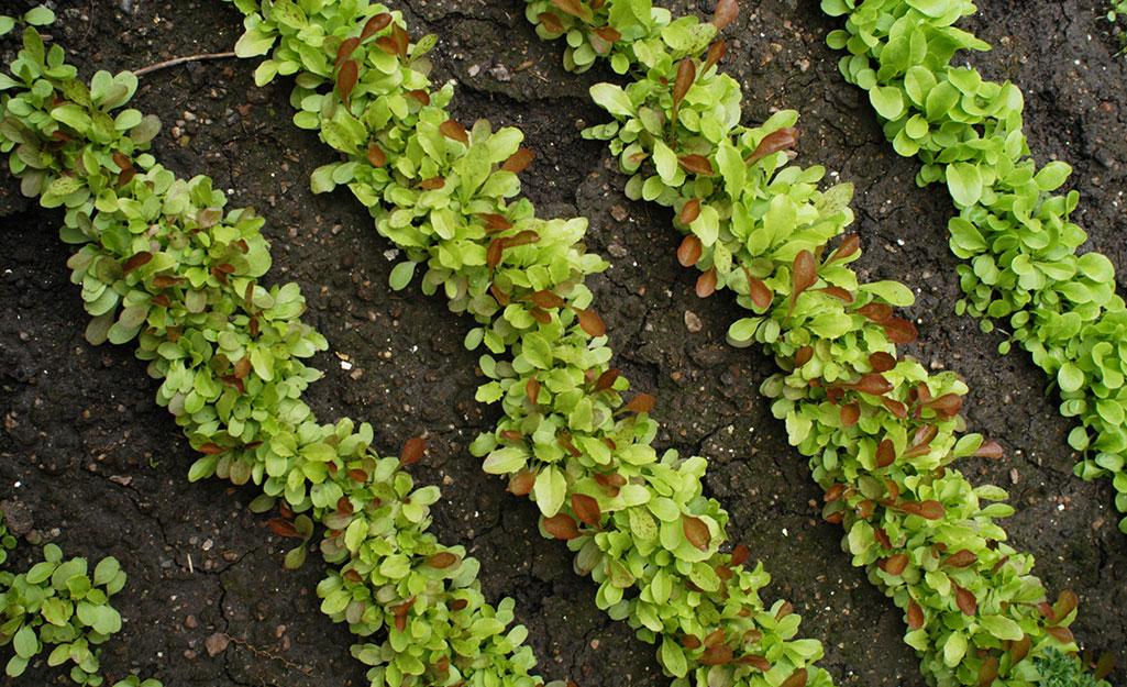 Lettuce rows in the garden.