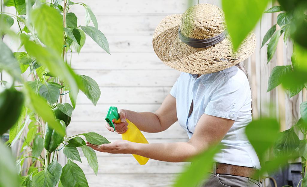Gardener spraying leaves of plants.