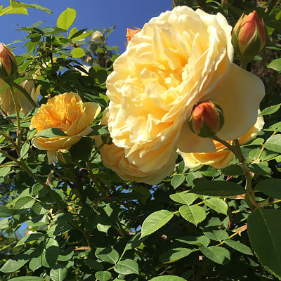 5 Roses to Choose for Your Garden