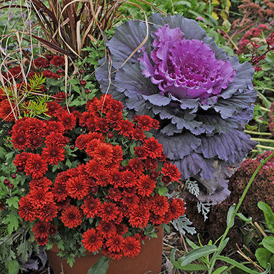 Red mum and flowering kale in a garden