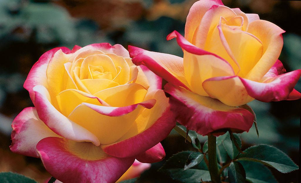 Yellow and pink roses in a garden bed.