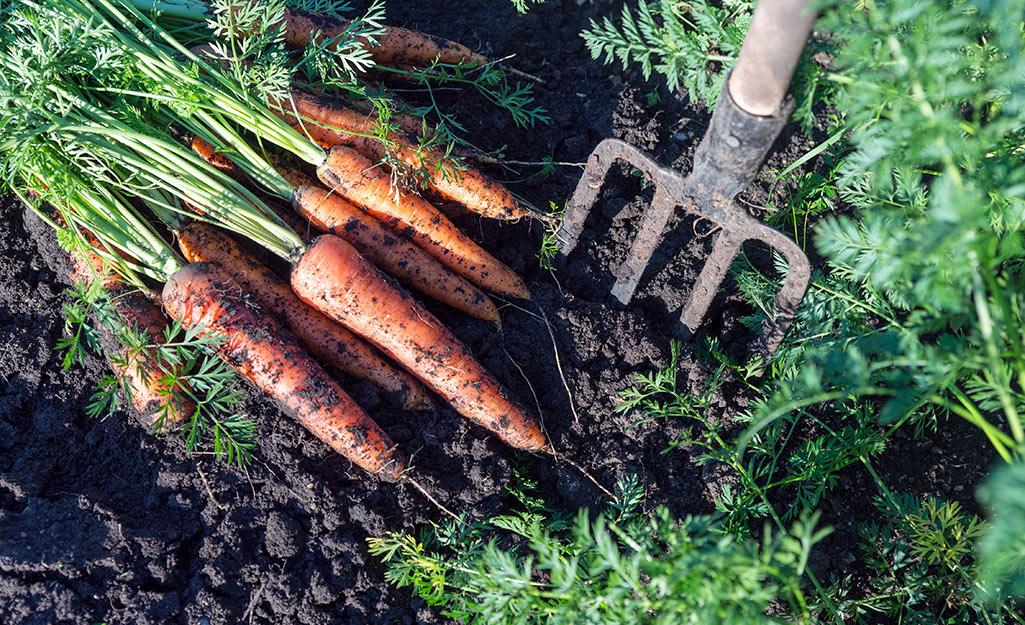 Carrots harvested in the vegetable garden