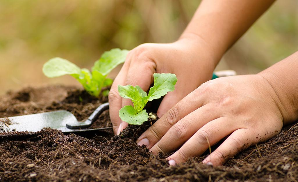 Gardener transplanting seedlings in soil