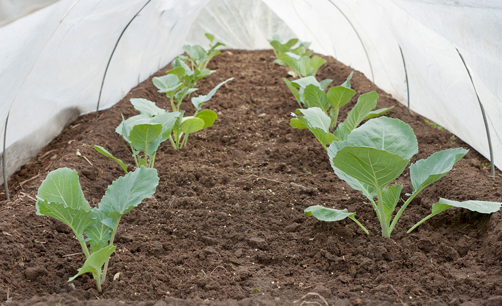 Cabbage growing under row cover