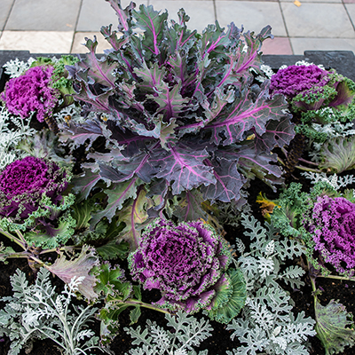 Flowering cabbage in a fall garden