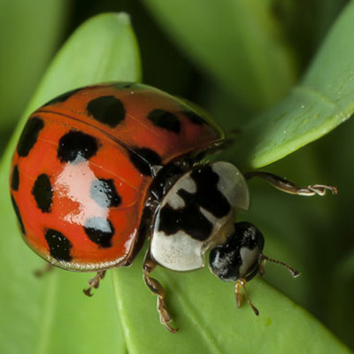 Asian lady beetle on a leaf.