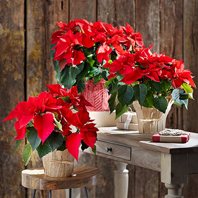 6 Easy Ways to Decorate with Poinsettias