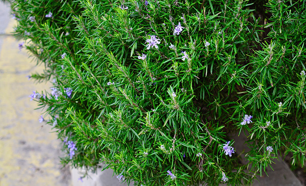 Rosemary plant in bloom