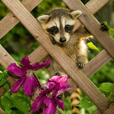 Raccoon in a garden trellis