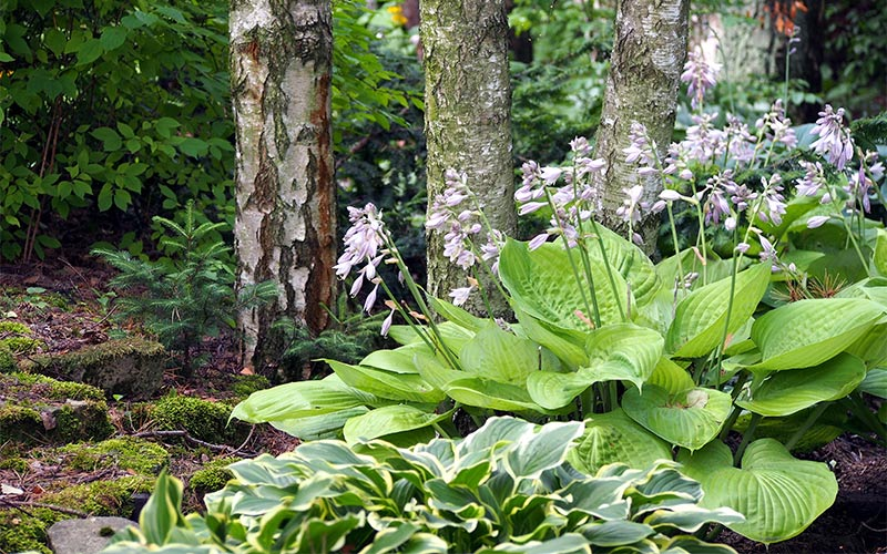Hostas with purple blooms growing next to a four trees