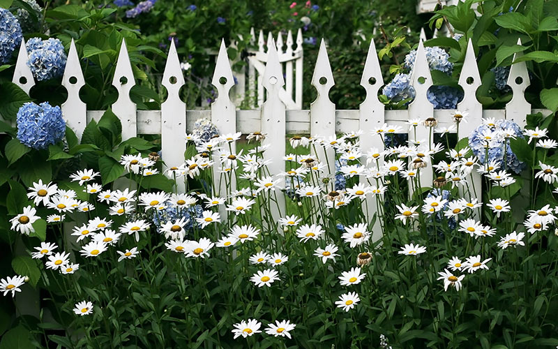 A white picket fence surrounded by white daisies and blue hydrangas