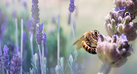 A bee on a purple lavender stem