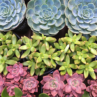 7 Cool Succulents for Drought-Tolerant Containers