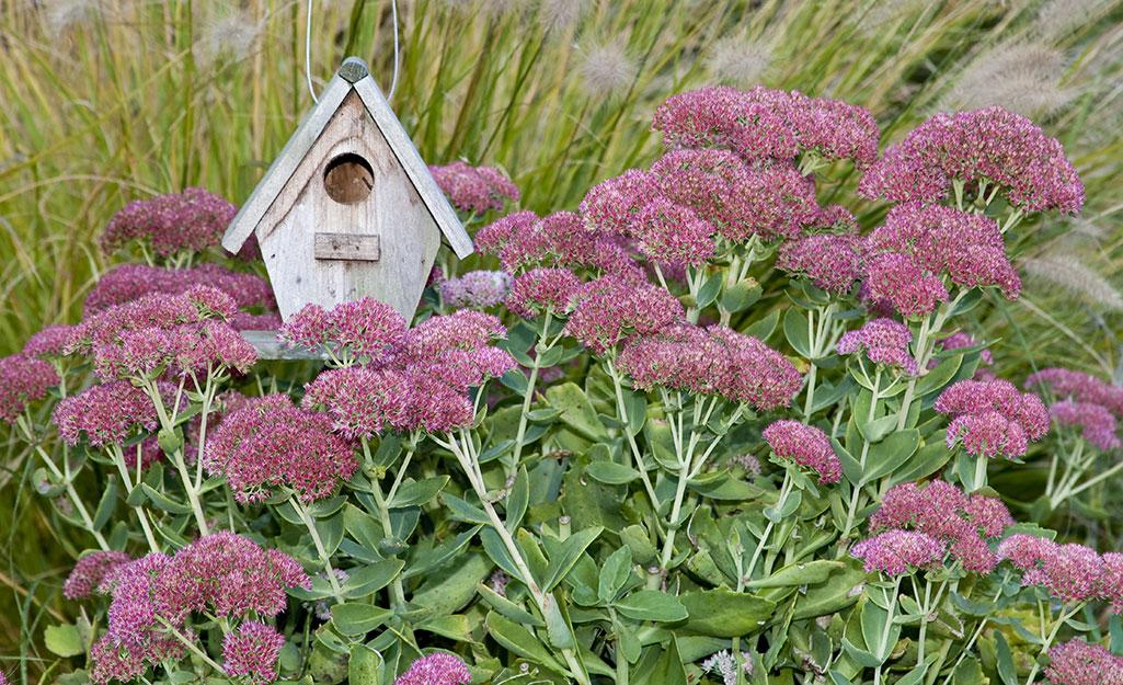 A birdhouse with Autumn Joy sedum in bloom
