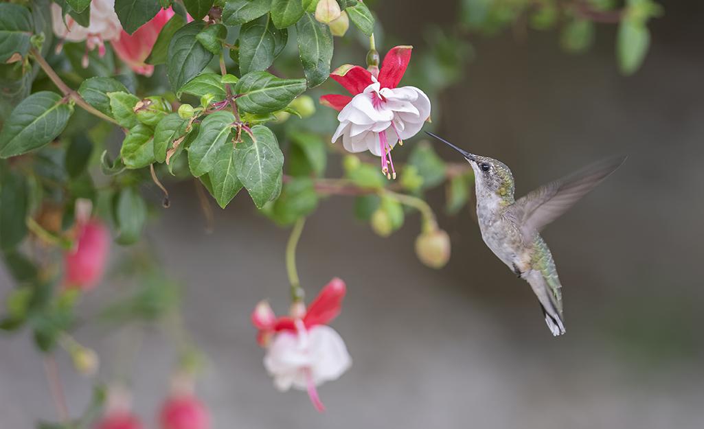 Hummingbird nectaring on a fuchsia flower